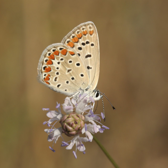 """Common Blue (Polyommatus icarus)"" stock image"