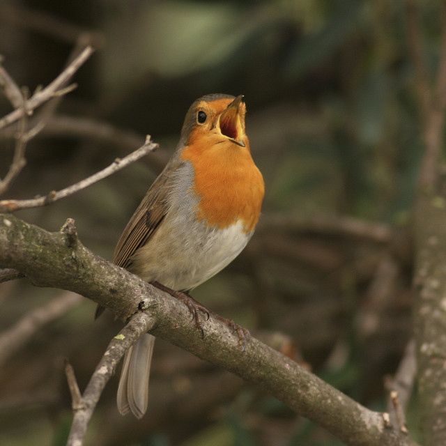 """European Robin (Erithacus rubecula),"" stock image"