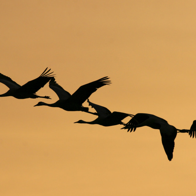 """Grey Cranes Grus grus"" stock image"