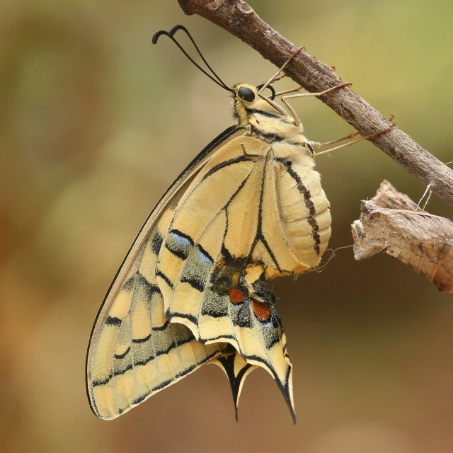 """Old World Swallowtail (Papilio machaon)"" stock image"