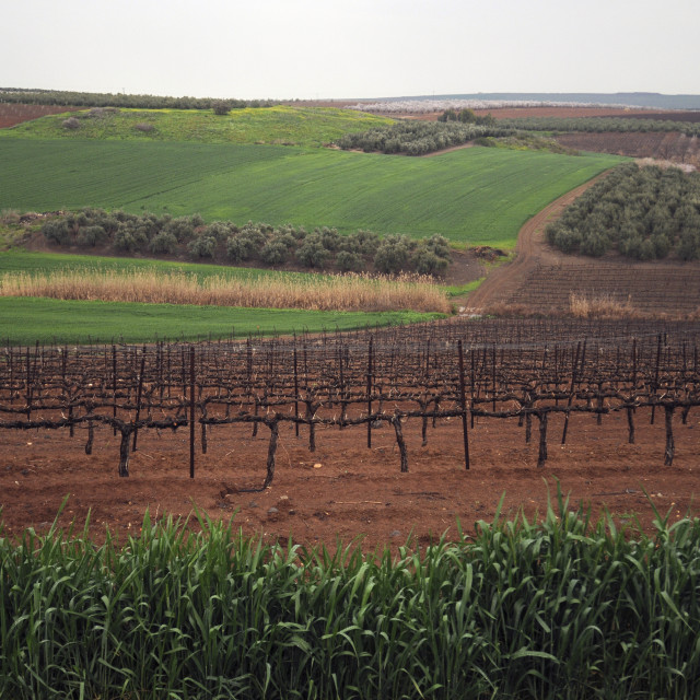 """Israel, Golan Heights, Vineyard"" stock image"