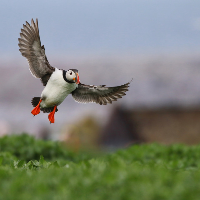 """Puffin in flight"" stock image"