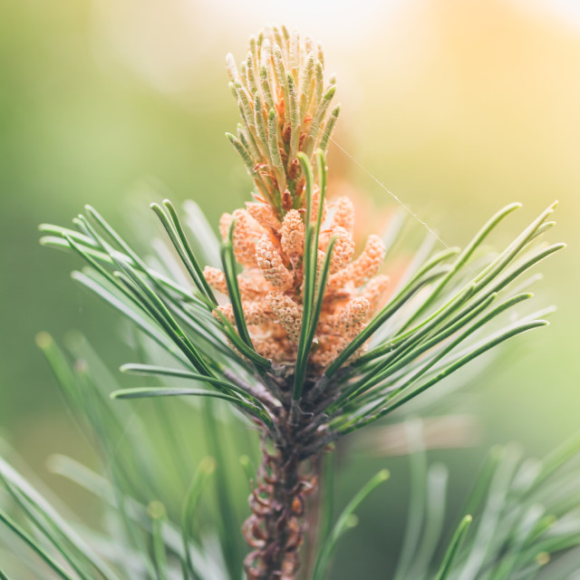 """Pine three blossoms and baby orange cones."" stock image"