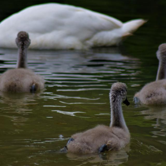 """Swan siblings"" stock image"