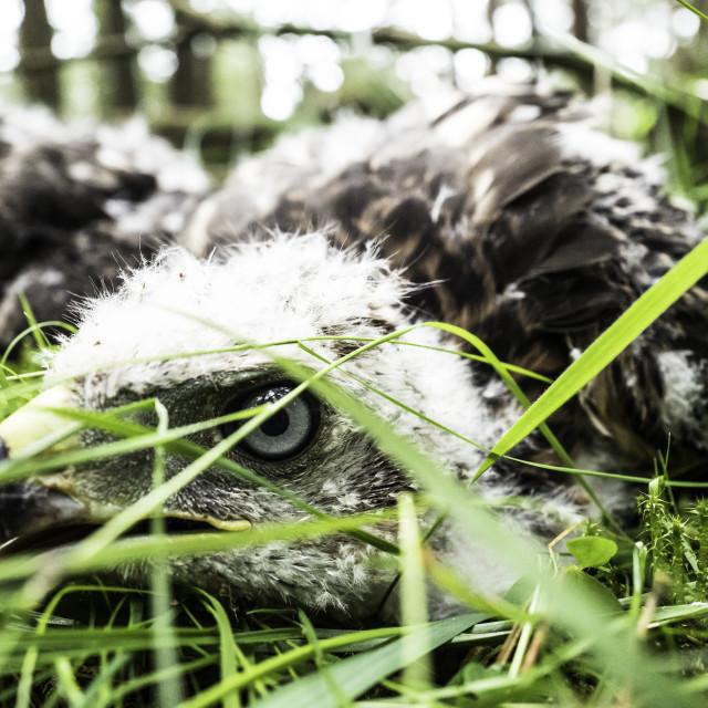 """Goshawk chicks, Jedburgh, UK"" stock image"
