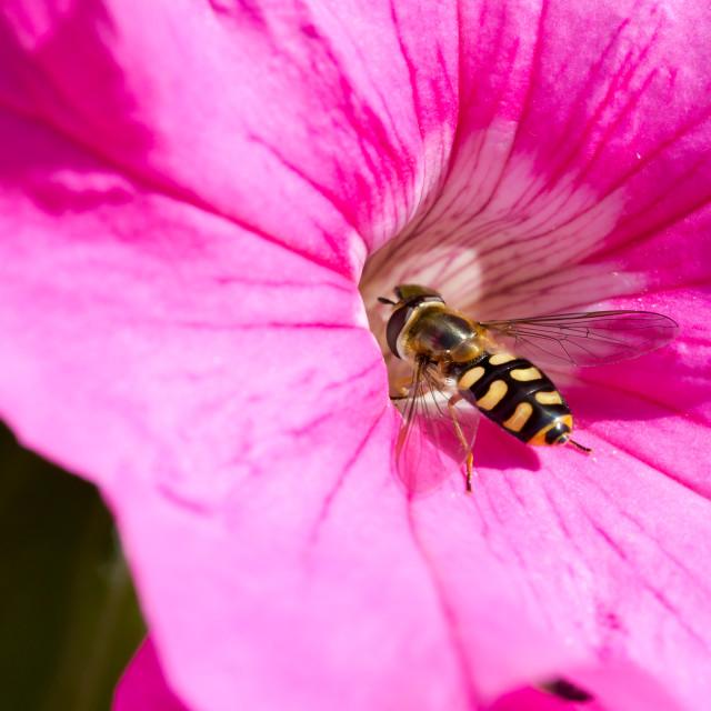 """""""Hoverfly, Syrphidae, flowerfly on petunia pink flower macro"""" stock image"""
