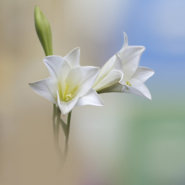 """""""Lilly of the valley"""" stock image"""