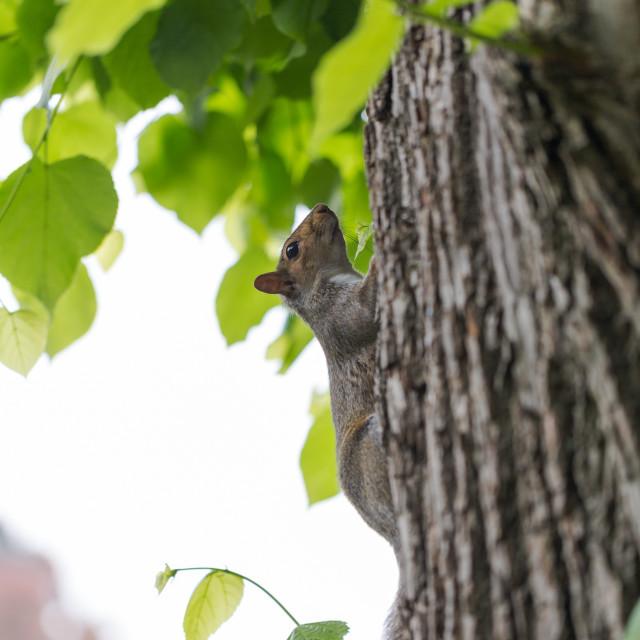 """Grey squirrel, Sciuridae, on tree trunk poses to portrait photog"" stock image"