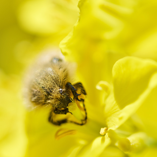 """""""Insect eating canola flower"""" stock image"""
