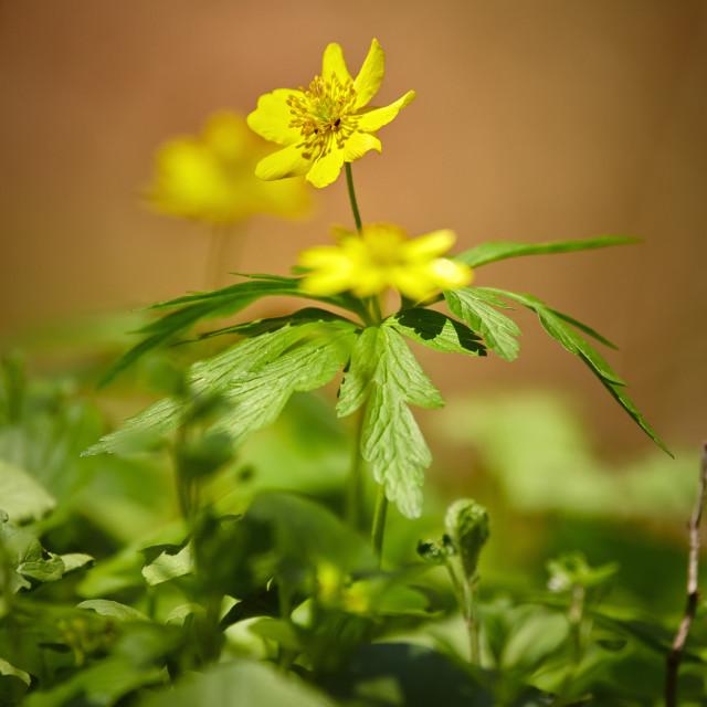 """Closeup of celandine flower"" stock image"