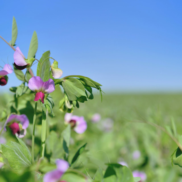 """field of flowering pea"" stock image"