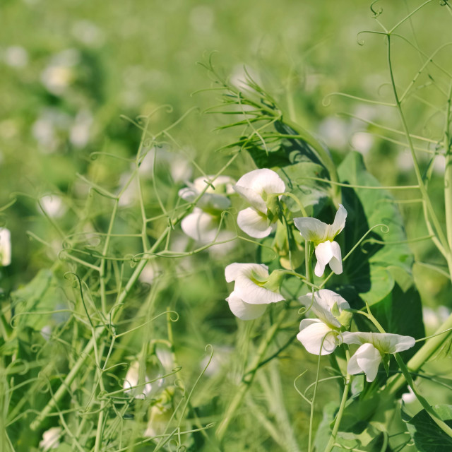 """field of pea"" stock image"