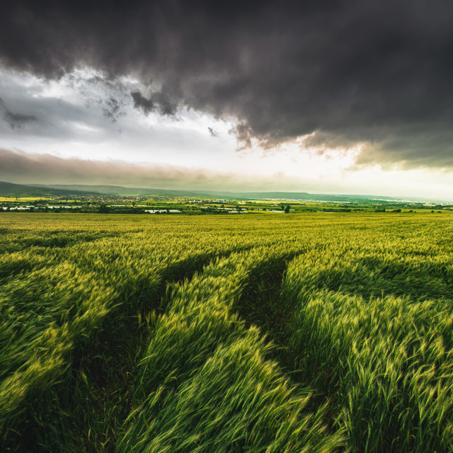 """Wheat field and dramatic sky"" stock image"