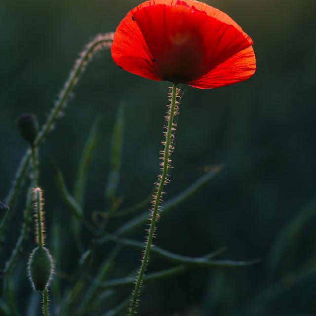 """One Poppy Glowing in Warm Evening Sun"" stock image"
