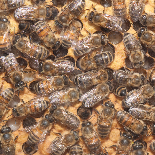 """Honey Bees in the Hive"" stock image"