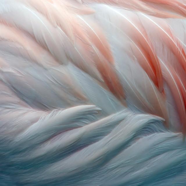 """Flamingo Feathers Closeup"" stock image"
