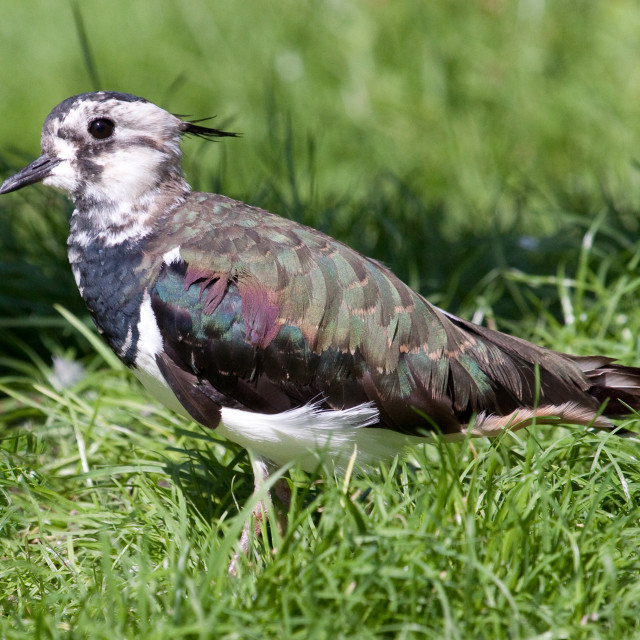 """Lapwing in the Grass"" stock image"