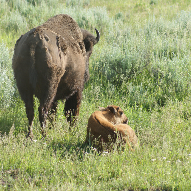"""Bison and Calf"" stock image"
