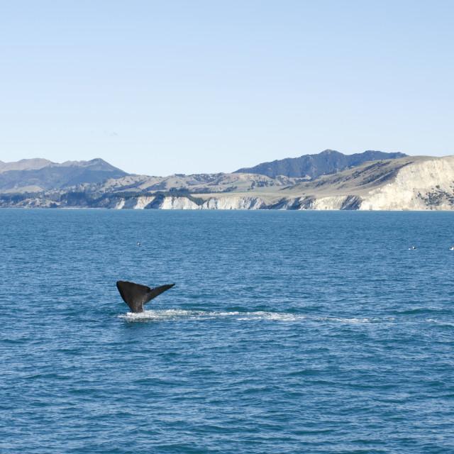 """""""Kaikoura Whale"""" stock image"""