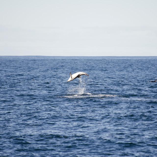 """Dolphin flip"" stock image"