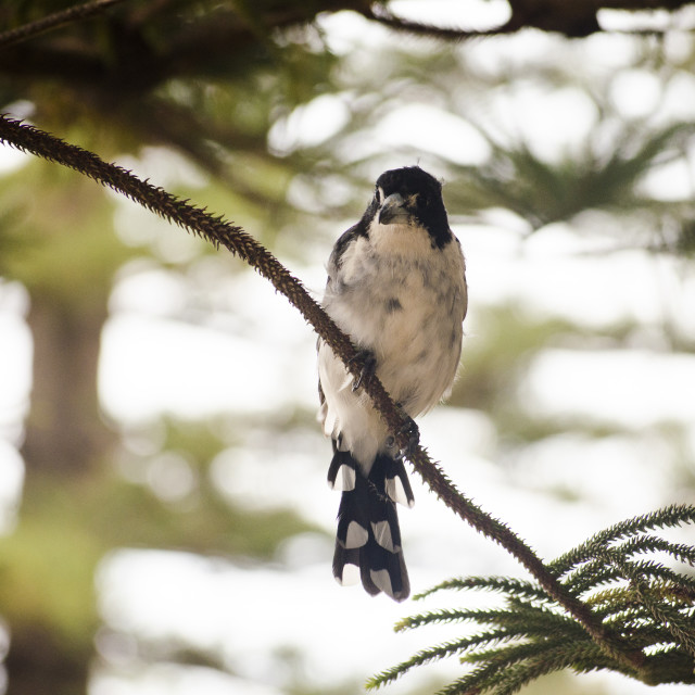 """Young Butcherbird"" stock image"