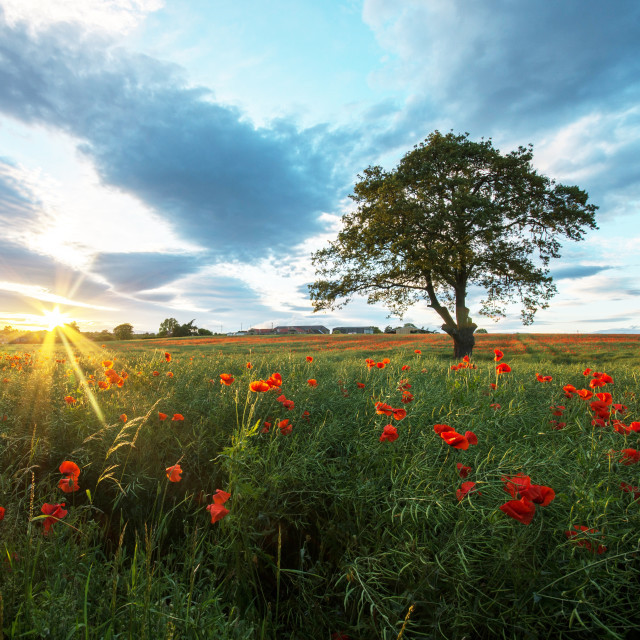 """""""Sunset over field of Poppies"""" stock image"""