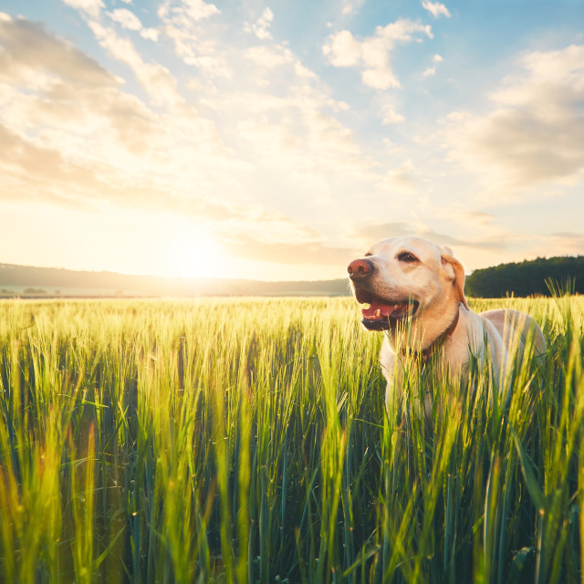 """""""Dog on the field at the sunrise"""" stock image"""
