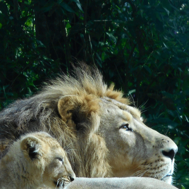 """Lion father and cub"" stock image"