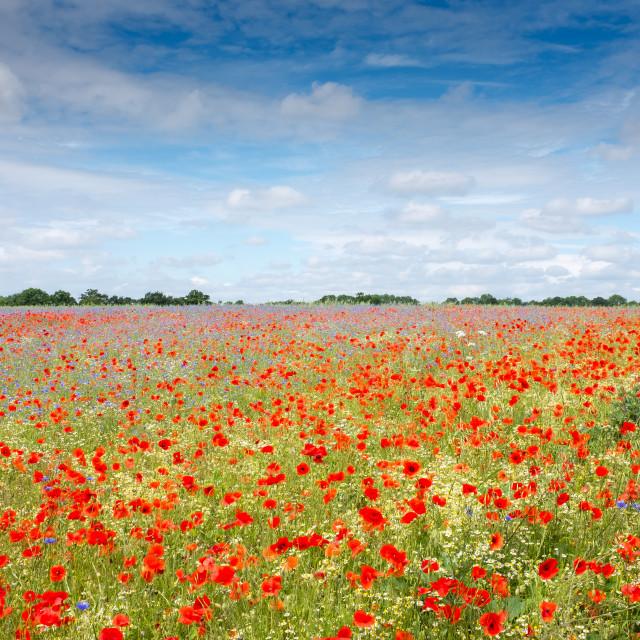 """British Wildflower Meadow"" stock image"