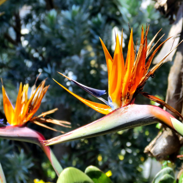 """Bird of paradise"" stock image"