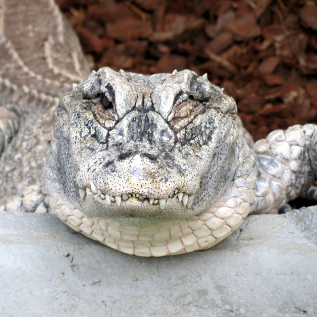 """Crocodile smile"" stock image"