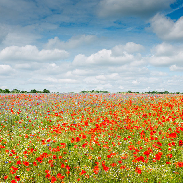 """British Wildflower Meadow Part 2"" stock image"