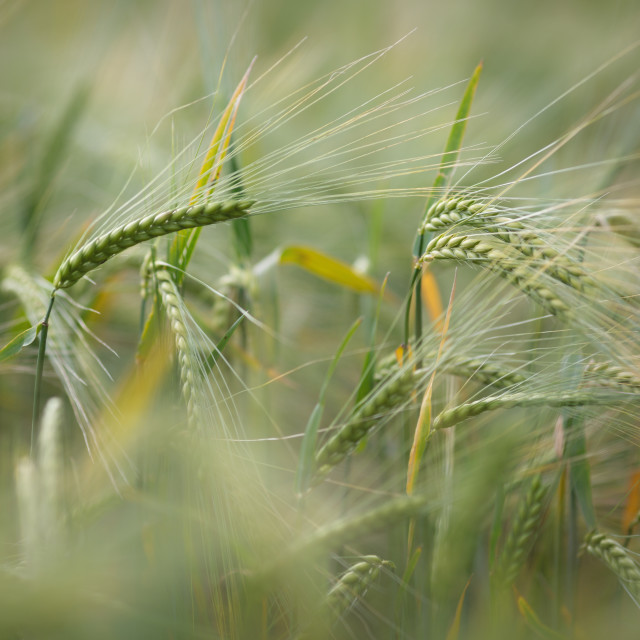 """Green Barley"" stock image"
