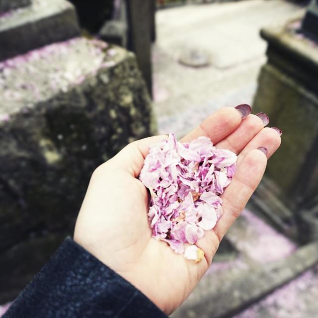 """""""Sakura petals"""" stock image"""