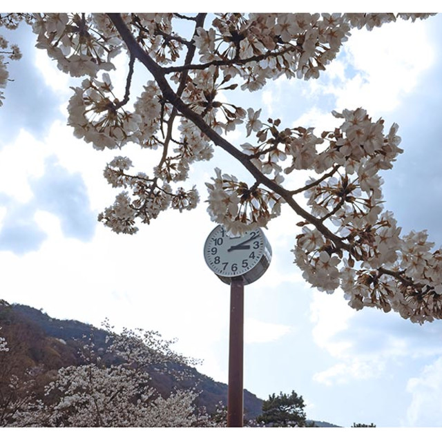 """""""cherry blossoms in Kyoto"""" stock image"""