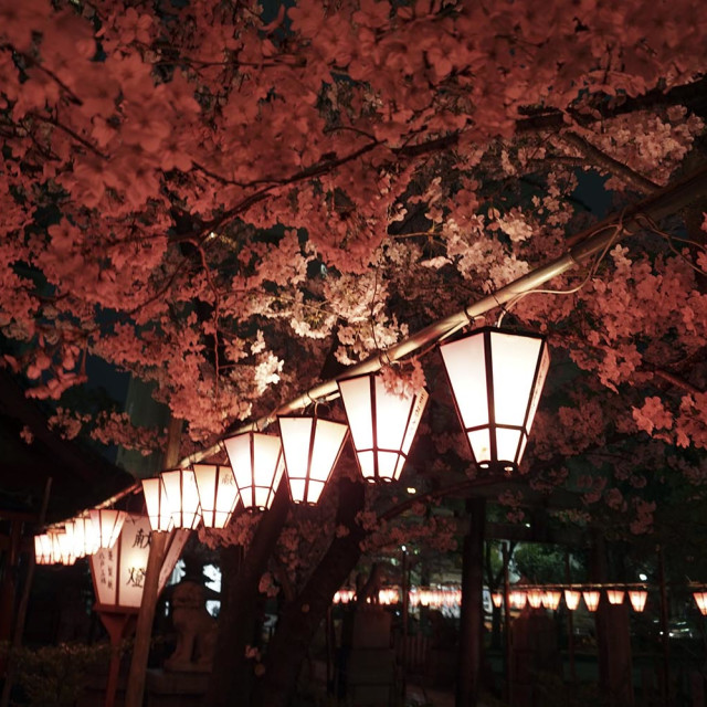 """""""cherry blossoms at night"""" stock image"""