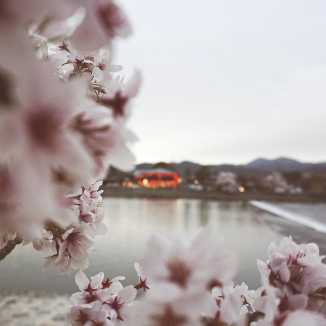 """""""cherry blossom in Kyoto"""" stock image"""