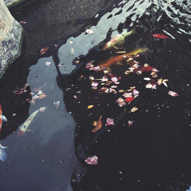 """small pond with orange carps"" stock image"