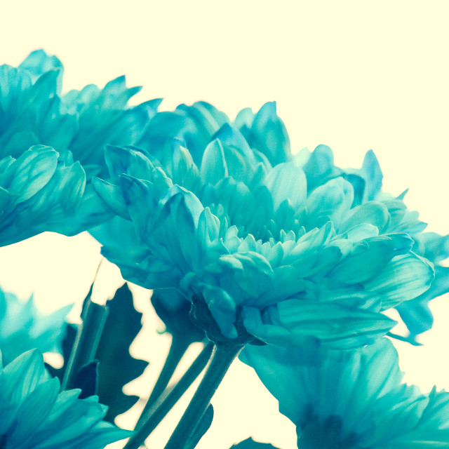 """Light Blue Chrysanthemum"" stock image"