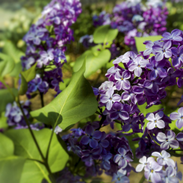 """""""Purple spring"""" stock image"""
