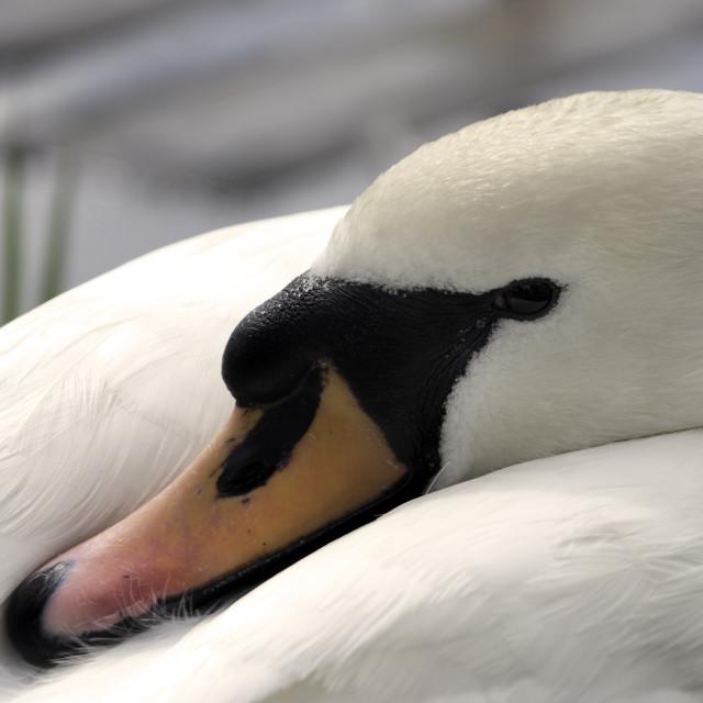 """""""Sleeping Swan"""" stock image"""