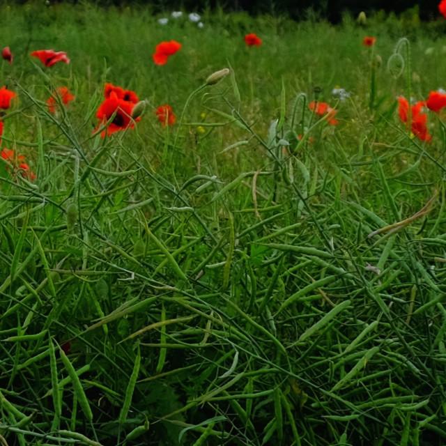 """""""poppy flowers in an oilseed rape field"""" stock image"""