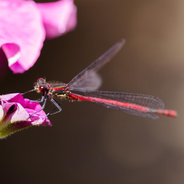 """Large Red Damselfly, Pyrrhosoma nymphula, resting on petunia"" stock image"