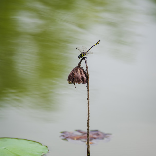 """Dragonfly landing on dead lotus"" stock image"
