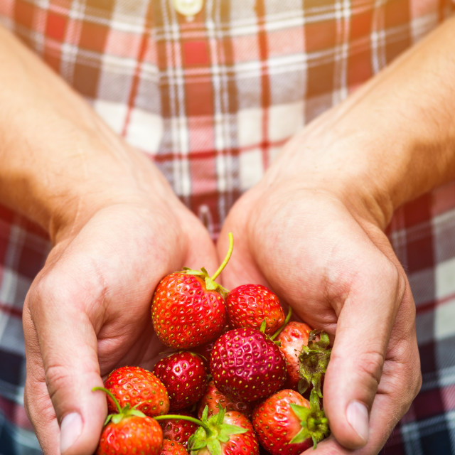 """Fresh picked real life strawberries"" stock image"