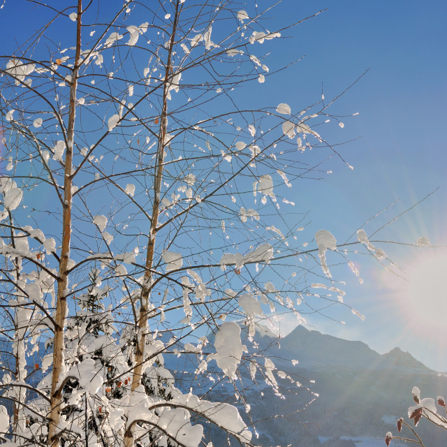 """""""snowy branches of tree"""" stock image"""
