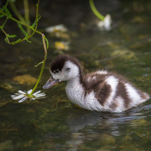 """Inquisitive Duckling"" stock image"
