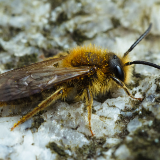 """Early Mining Bee"" stock image"