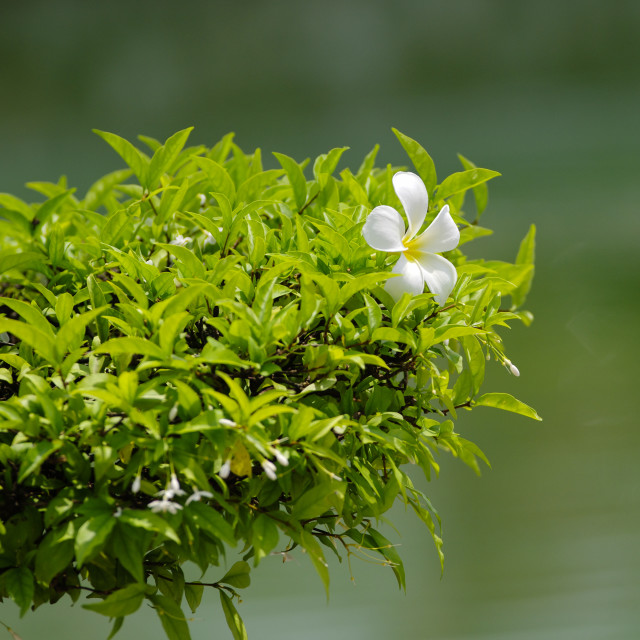 """""""Falling white plumeria flower on green leaves"""" stock image"""