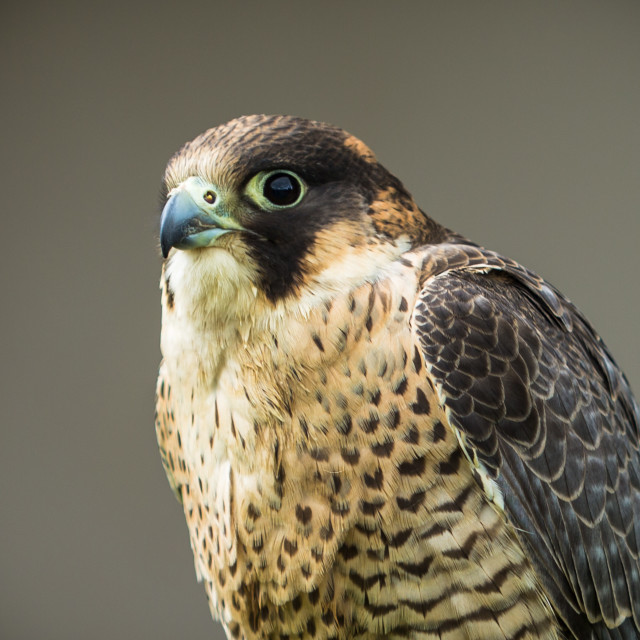 """Barbary Falcon Portrait"" stock image"